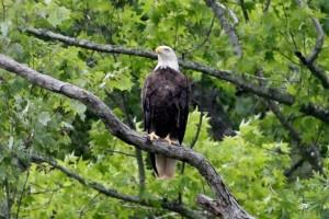 Bald Eagle overlooking the Mattaponi River by Armistead T Saffer