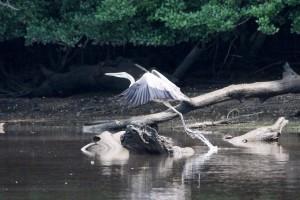 Heron on the Mattaponi River - by Armistead T. Saffer